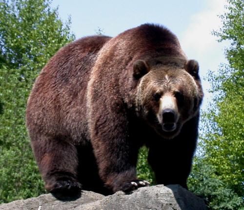 Orso grizzly for Affittare una cabina grande orso