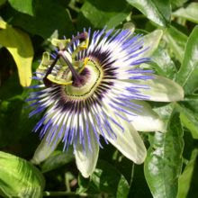 Christ Passion Flower
