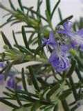 The Many Health Benefits of Rosemary