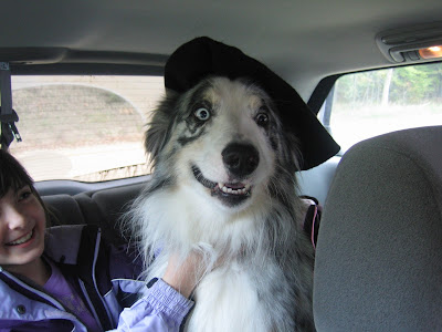 blue merle Australian Shepherd wearing hat southwest Michigan