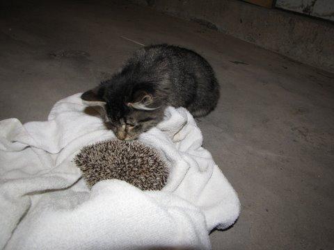 [cat+meets+hedgehog.JPG]