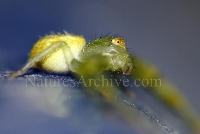 Crab Spider Macro