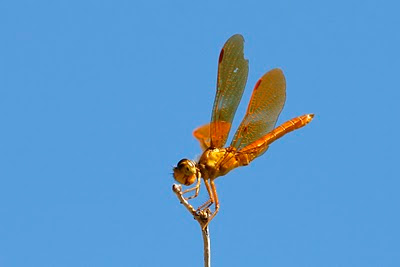Mexican Amberwing Dragonfly