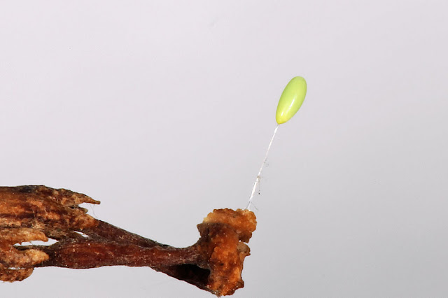 Green Lacewing Egg