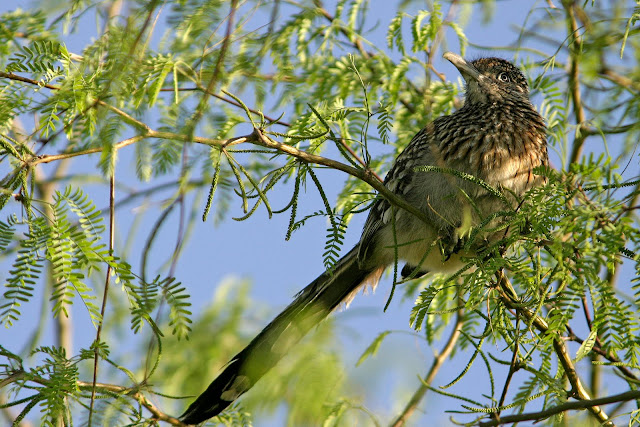 Greater Roadrunner in tree