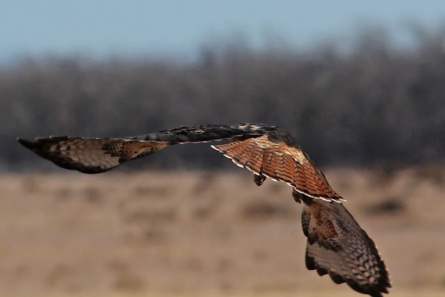 Red-tailed Hawk Tail