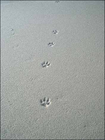 Animal Trackers of New England: Tracking quiz: patterns in the snow