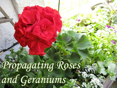 How to propagate roses and geraniums using stems
