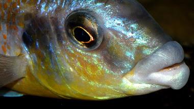Cheilochromis euchilus - detail
