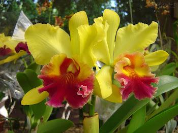 Orquideas:beleza sedutora!