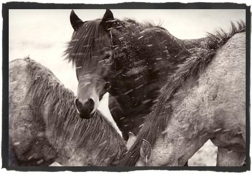[wild_horse_winter_stallion.jpg]