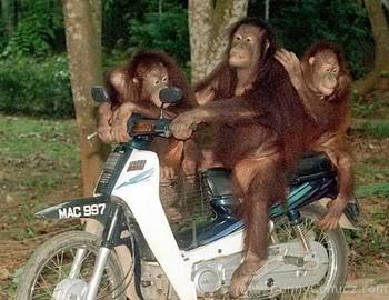 foto monyet gokil - gambar hewan