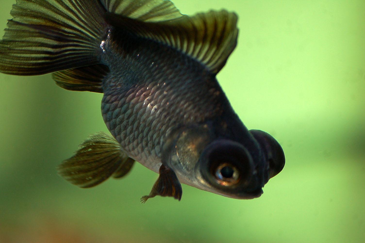 El mejor pez para tu estanque fan del pez for Peces agua dulce