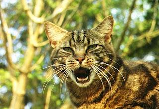 gato, mascota, flehmen