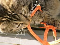Inteligencia gato. Gato jugando con cordón