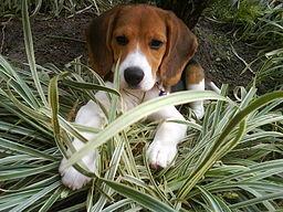 Inteligencia perro. Beagle