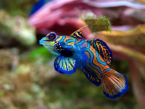 Gobio Mandarin o pez Dragon Gobio+mandarin