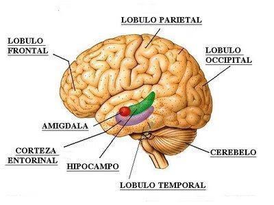 Nuove prospettive notizie dall 39 interno l 39 amigdala e for Interior sinonimos
