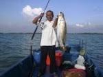 Siakap Liar Laut Kuala Kurau 12kg kiriman Ibrahim Akied MARA Parit Buntar