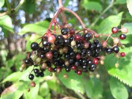 Herbs treat and taste elderberries elder tree medicinal benefits history and superstitions - Fir tree syrup recipe and benefits ...