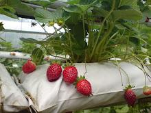 tentang kami dan strawberry