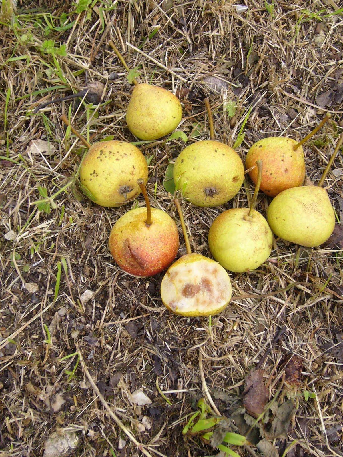 Gruppo coltivare condividendo censimento dei vecchi for Piante antiche da frutto