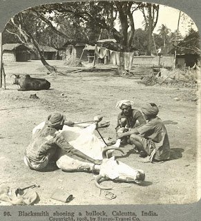 India 100 years ago: Blacksmith shoeing a bullock - Calcutta (Kolkata), India