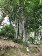 Bam, Bam, Bambú...