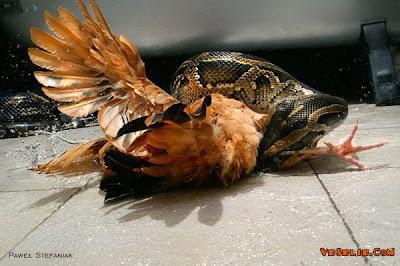killing chicken