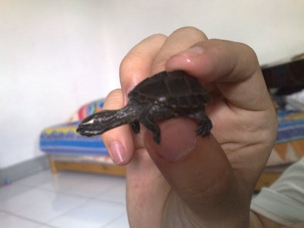 Turtle And Tortoise Lover: Common Musk Turtle or Stinkpot