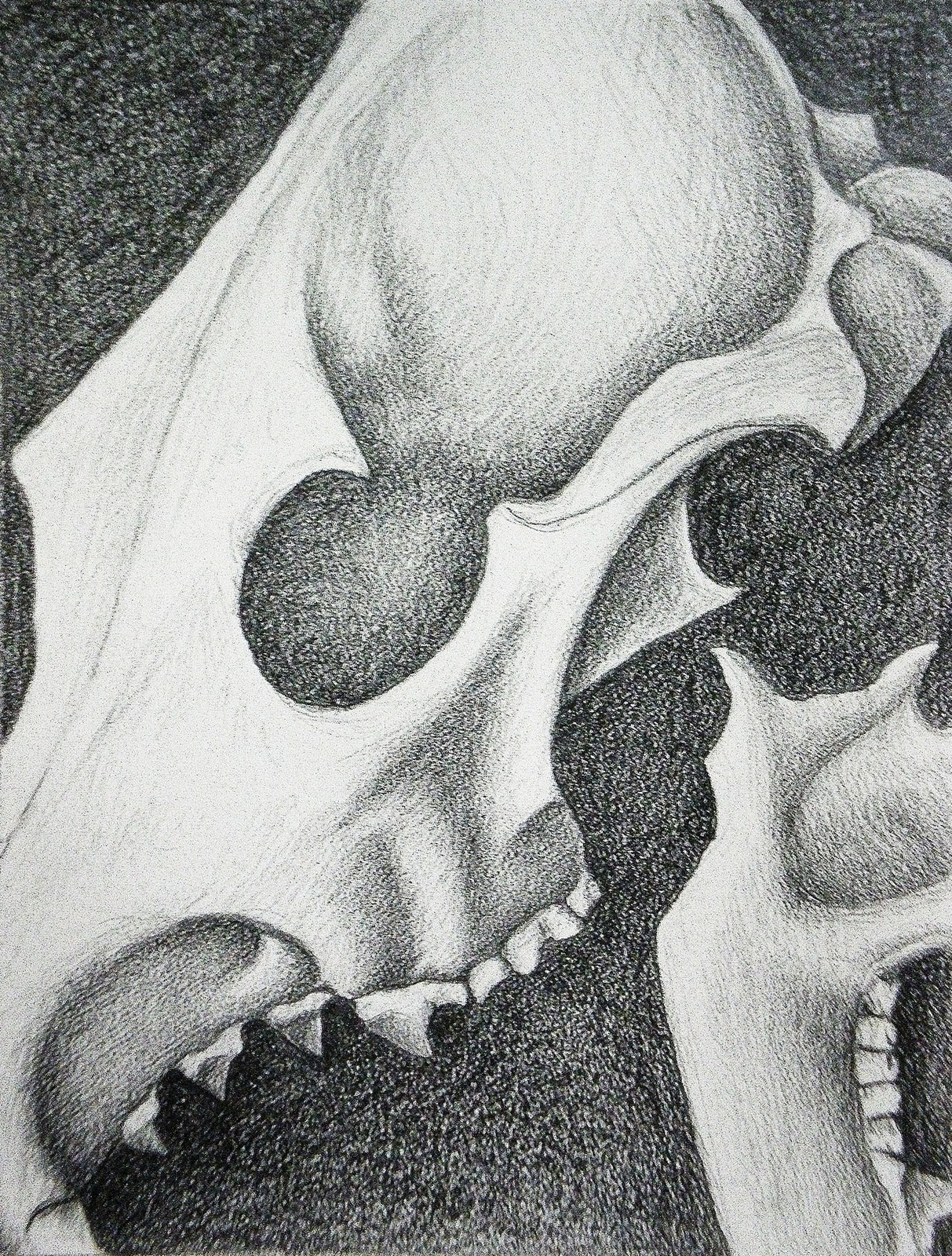Coyote skull anatomy - photo#15