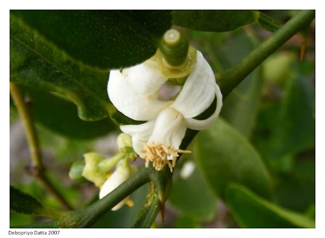 Close up of a lemon floret