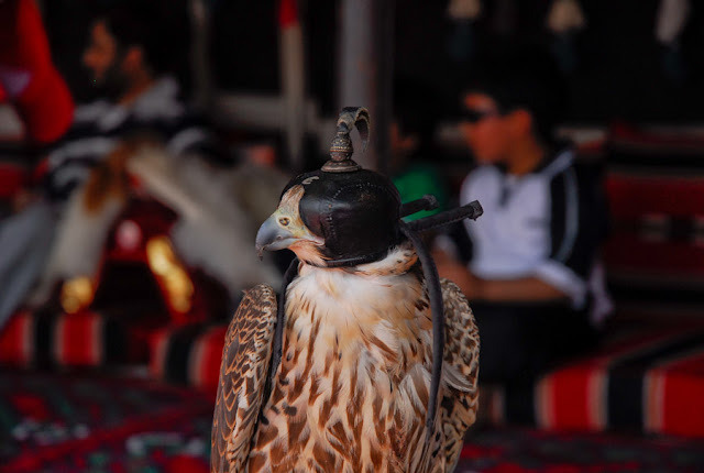 Falcons in Saudi Arabia