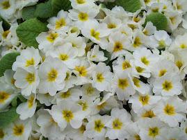 White Flower Saidai