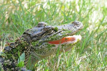 American Alligator 1