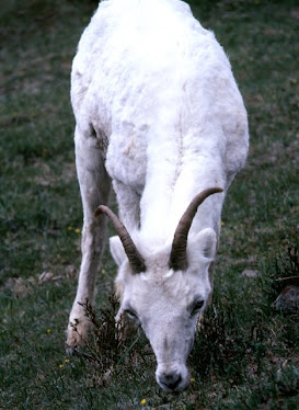 Dall Sheep, female