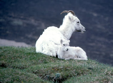 Dall Sheep, ewe and lamb