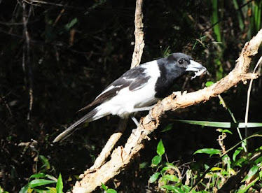 Pied-billed Butcherbird, with small lizard