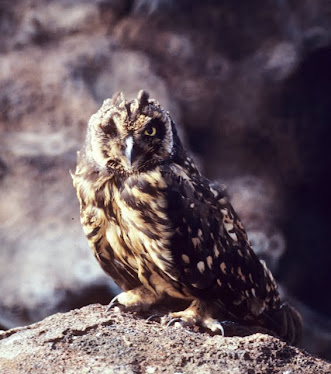 Galapago Short-eared Owl