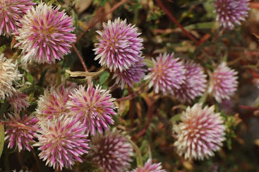Batchelor Buttons -Gomphrena canescens