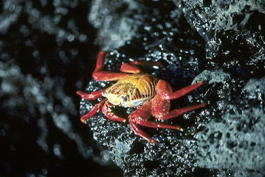 Sally Lightfoot Crab 2