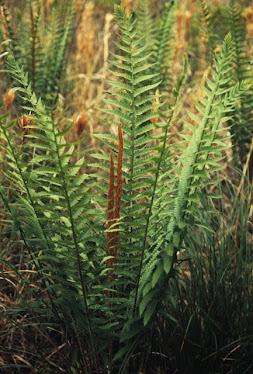 Cinnamon Fern - Osmunda cinnamomea