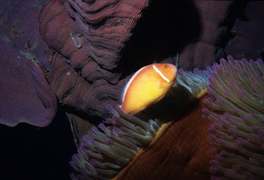 Pink Anemonefish and Magnificant Sea Anemone