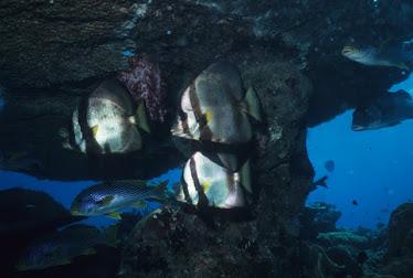 Pennate Batfish