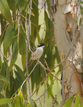 White-throated Honeyeater 1