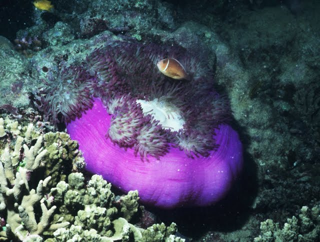Magnificent Sea Anemone