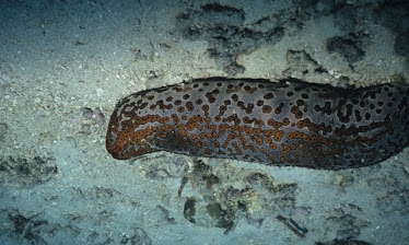 Leopard Sea Cucumber 2