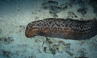 Leopard Sea Cucumber 2