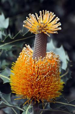 Banksia ashbyi 7