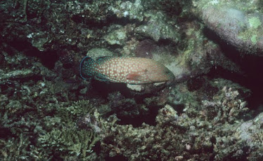 Blue-spotted Rock Cod 5